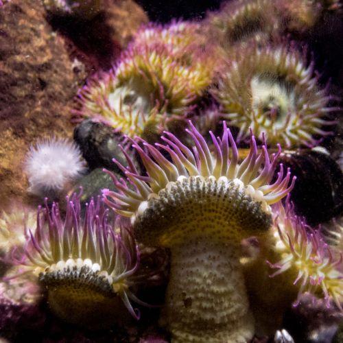 aquarium 7 amenone purple green