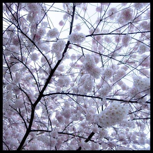 cherry 2013-1