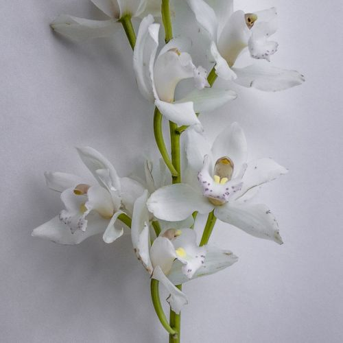 orchid 01