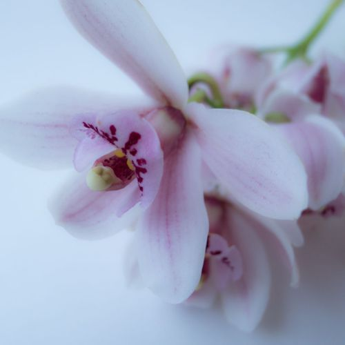 orchid 03