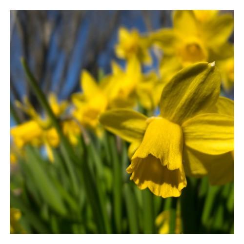 daffodils outside