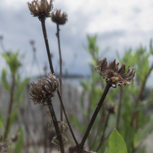 herbe de plage 3