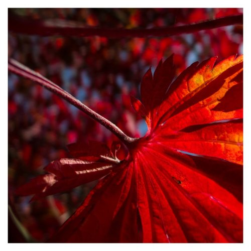 feuille rouge