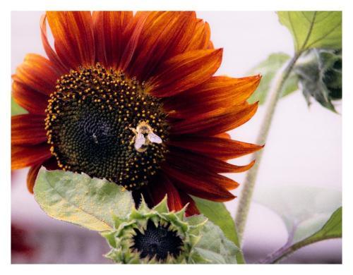 abeille + tournesol