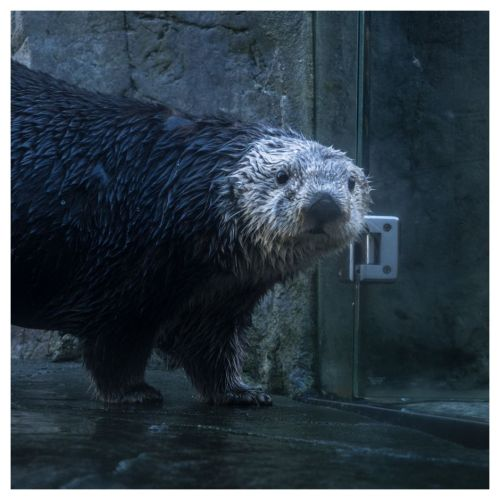 aquarium otter 01