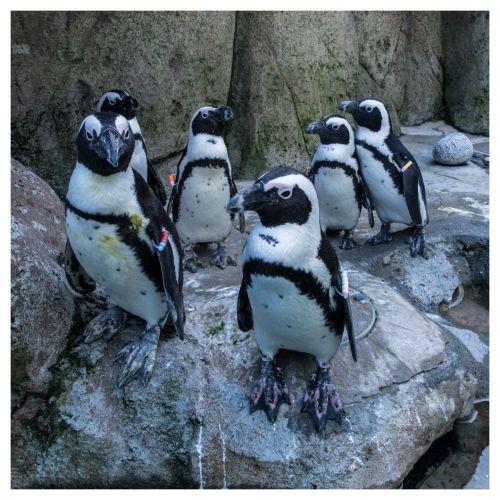 aquarium pingouin