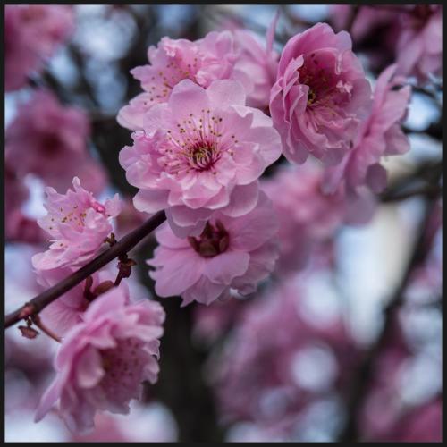 cerisiers 2015-2
