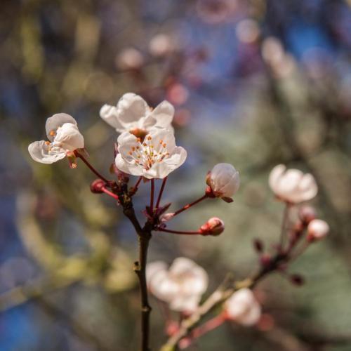 fleurs de printemps cerisiers