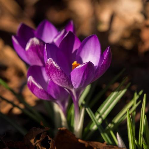 fleurs de printemps crocus
