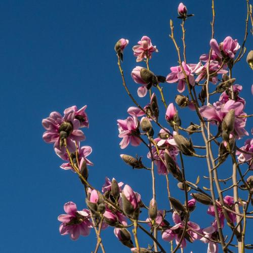 fleurs de printemps magnolia