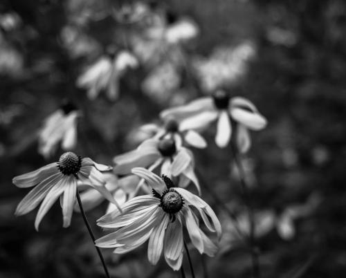 fleurs noir & blanc