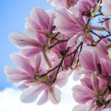 magnolia 01