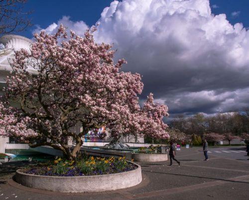 magnolia 03