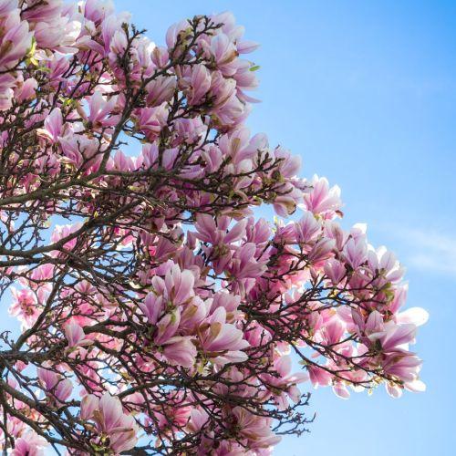 magnolia 04