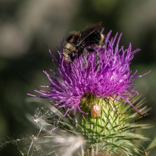 abeille sur chardon-2