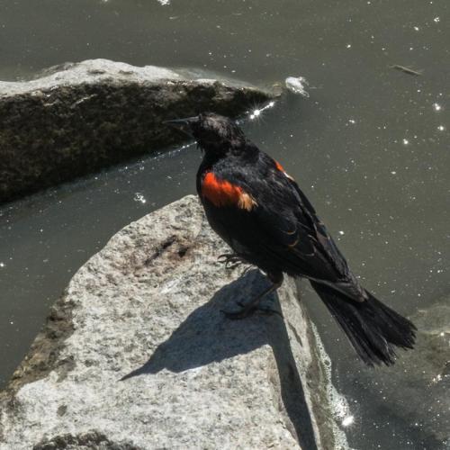 red winged blackbird 02