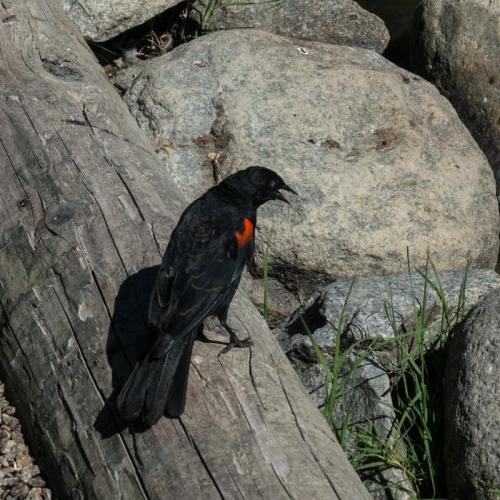 red winged blackbird 03