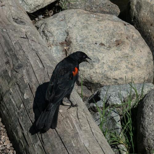 red winged blackbird 03