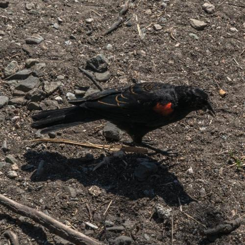 red winged blackbird 04