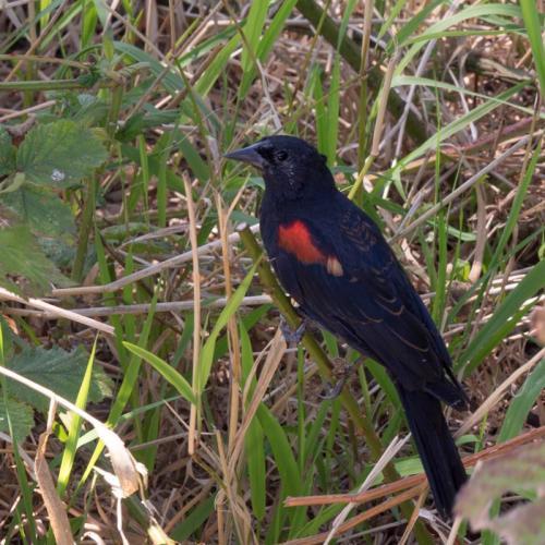 red winged blackbird 05
