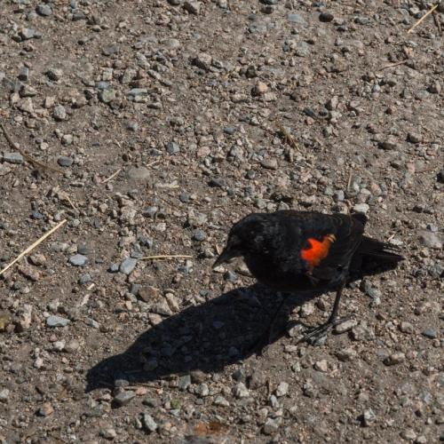 red winged blackbird 06