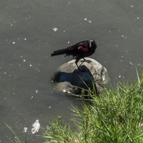 red winged blackbird 07