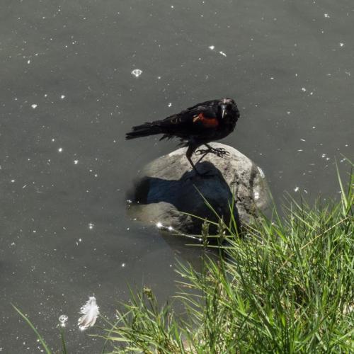 red winged blackbird 07