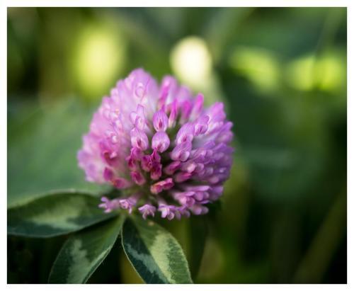 fleur-en-rose