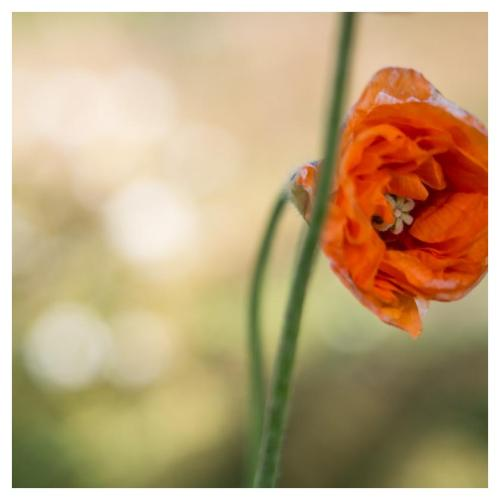 fleur-orange-1